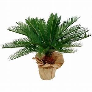 Plante D Extérieur En Pot : livraison de fleurs cycas ~ Dailycaller-alerts.com Idées de Décoration