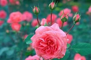 Rosen Schneiden Wann : rosen schneiden anleitung f r einen richtigen r ckschnitt ~ Eleganceandgraceweddings.com Haus und Dekorationen
