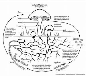 Simplified Mushroom Life Cycle For The Gould League U0026 39 S Kids Club Magazine  Which Featured Fungi