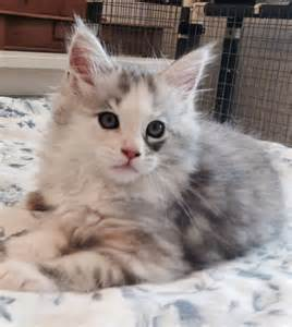 Cat Maine Coon Kittens Adoption
