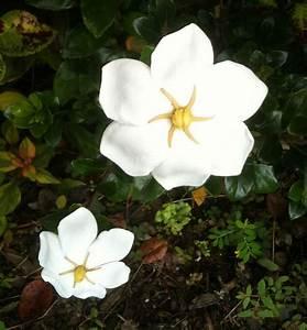 Gardenia Jasminoides Pflege : plants flowers gardenia jasminoides veitchii ~ A.2002-acura-tl-radio.info Haus und Dekorationen