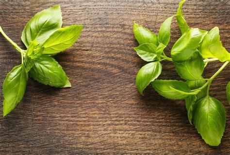 basil plant pests nooks crannies your modular kitchen the quicksearch blog