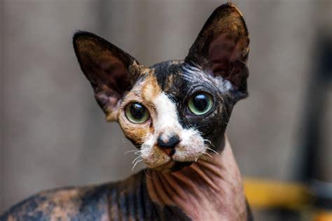 but fr canapé les différentes races de chats d 39 intérieur