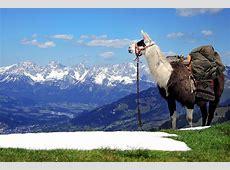 Lama Trekking Tour in Kiefersfelden als Geschenkidee