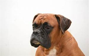 Head Bobbing in Boxer Dogs - Best Pet Home Remedies