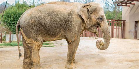 asian elephant smithsonians national zoo