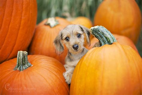 Pumpkin Patch with Dogs