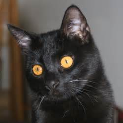 bombay cat bombay cat with green motorcycle review and galleries