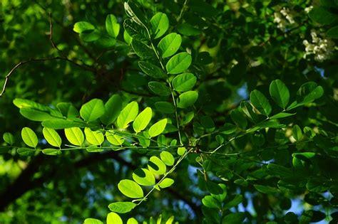 sony fe 28 70mm f3 5 5 6 oss kostenloses foto gewöhnliche robinie blatt grün