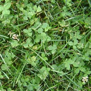 Common Lawn Weed Identification Chart