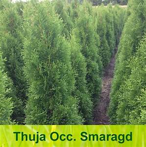 Thuja Smaragd Düngen : thuja smaragd einpflanzen buy thuja smaragd online plants ~ Michelbontemps.com Haus und Dekorationen