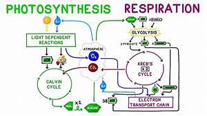 Cellular Respiration And Photosynthesis Quiz