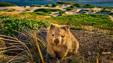 australia tasmania maria island wombat bing desktop