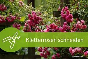 Kletterrosen Richtig Pflanzen : kletterrosen schneiden 4 schritte f r 4 schnittarten ~ Markanthonyermac.com Haus und Dekorationen