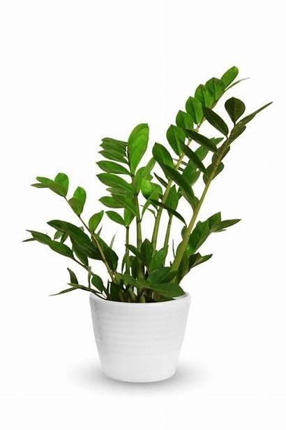 Zz Plant Plants Indoor Zamioculcas Zamiifolia Potted