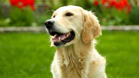 travailler en cuisine les 20 races de chiens les plus populaires galeries d