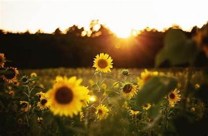 Sunflower Desktop Girasol Papel Fondo Parede 4k