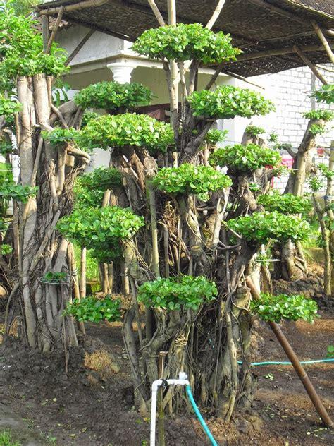 bonsai beringin korea murah jual pohon bonsai beringin