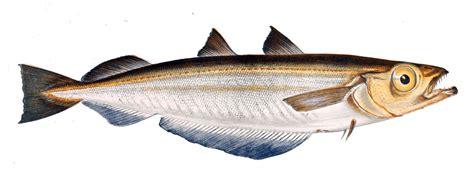 whiting fish blue whiting wikipedia
