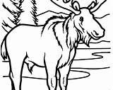 Elk Coloring Bull Printable Moose Getcolorings Getdrawings sketch template