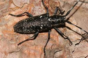 Wild Utah photos of Pine Sawyer Beetle, Monochamus ...