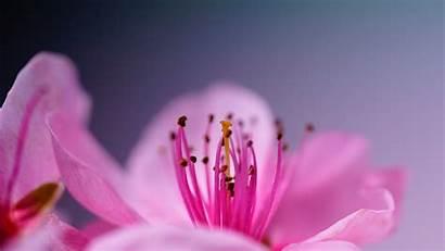 Cherry Macro Pexels Bloom Blossoms Wallpapers Photographer