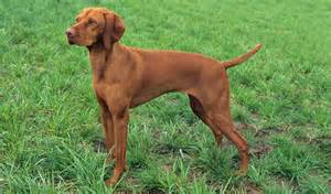 vizsla mix breeds picture breeds picture