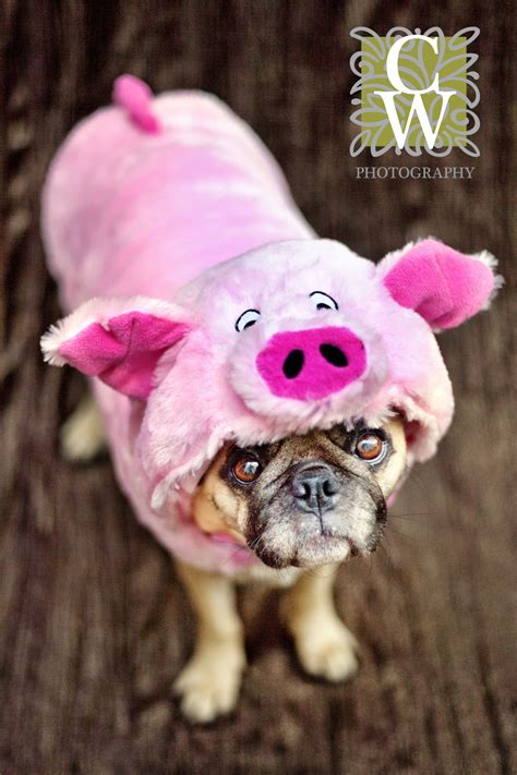 pet photography minature pig costume pugs pinterest