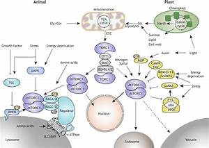 Tor Signaling In Plants  Conservation And Innovation