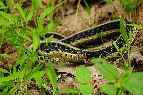quick guide    species  michigan snakes