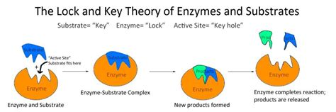 Image result for enzymes lock and key theory
