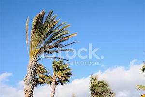 Palm Tree Blowing IN The Wind stock photos - FreeImages.com