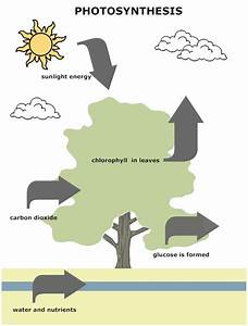 1000  Images About Photosynthesis On Pinterest