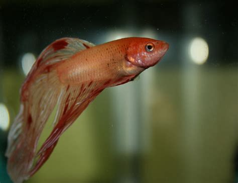 swim bladder disease swim bladder disorder betta fish care