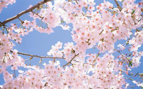 cherry blossom tree l east to west cheery blossom festival konark jain