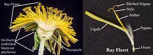 Dandelion Flower Parts  Dandelion Head Cross