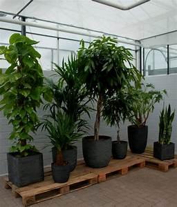 Große übertöpfe Für Zimmerpflanzen : 100 moderne grosse zimmerpflanzen bilder ideen ~ Bigdaddyawards.com Haus und Dekorationen