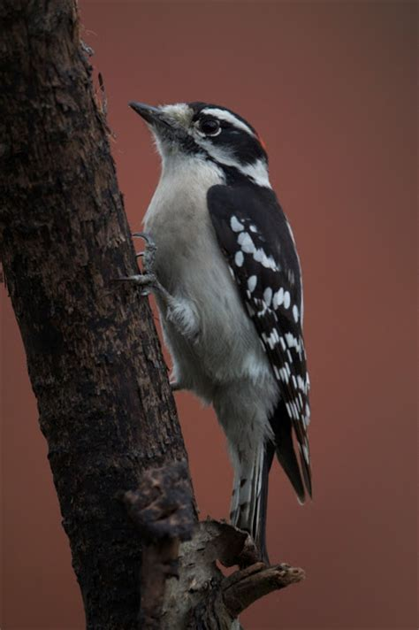 feather tailed stories downy woodpecker