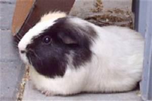 Lass Uns Essen Gehen : bilder von meerschweinchen als digitale postkarte ~ Orissabook.com Haus und Dekorationen