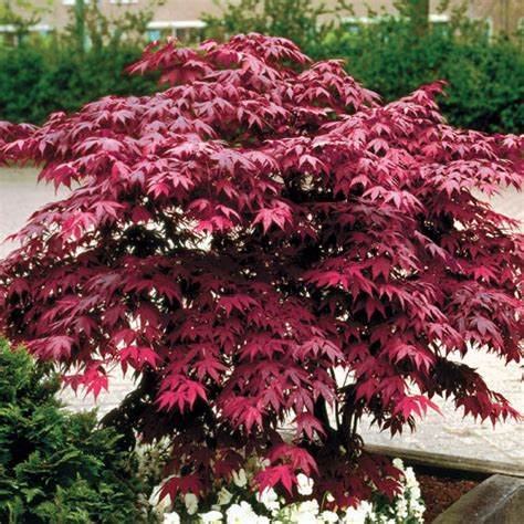 japenese maple japanese maple tree pictures