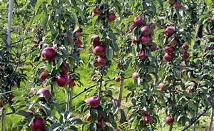 Tomaten Richtig Schneiden : s ulenobst richtig schneiden und pflegen gardens garten ~ Lizthompson.info Haus und Dekorationen