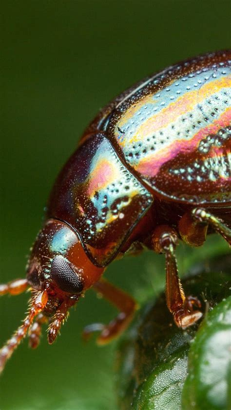 Beetle Insect phone, desktop wallpapers, pictures, photos ...