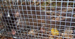 Bornean Ferret Badger Melogale Everetti  In A Wire