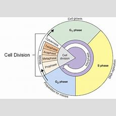 Cell Cycle Interphase  Lessons  Tes Teach  Cells  Cell Cycle, Biology, The Cell
