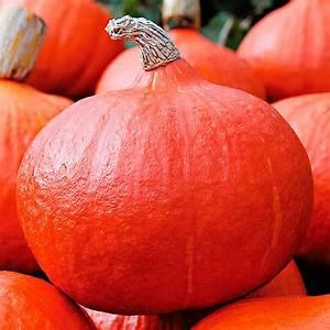 Hokkaido Kürbis Ernten : k rbissamen speisek rbis hokkaido orange summer f1 online kaufen bei g rtner p tschke ~ Orissabook.com Haus und Dekorationen