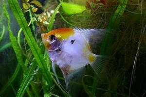 Interesting Facts About Angelfish