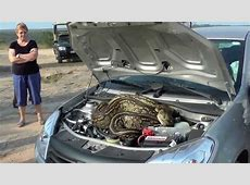 Kruger National Park Huge Python hides under Car bonnet