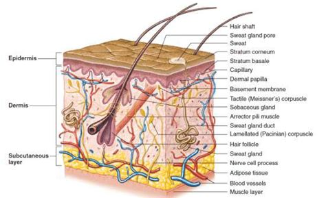 Skin Cell Diagram Label by 4 A Cross Sectional Representation Of The Anatomy Of Human