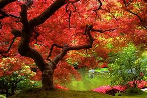 38 Maple Tree Wallpaper Desktop Background 1804 :: Red ...