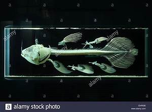 Skeleton Of Coelacanth  Latimeria Chalumnae   Natural History Museum Stock Photo  79779930
